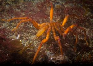 Good Sea Spider.jpg