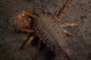 Isopod.jpg