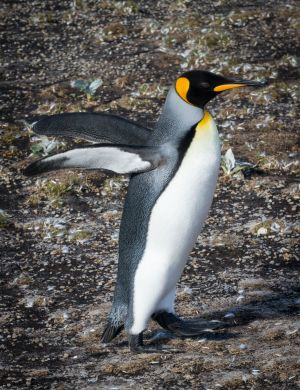 King Penguin Running.jpg
