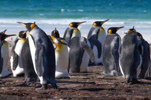 King Penguins.jpg