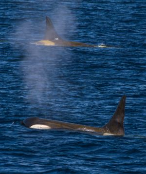 Orca Above and Below.jpg