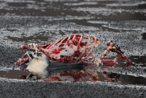 Penguin Carcass-2.jpg