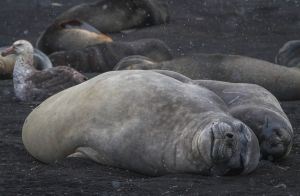 Smiling Elephant Seals