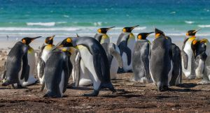 The King Penguins Wide