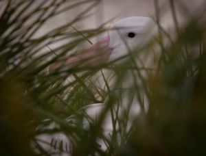 Wandering Albatros thru the Grass