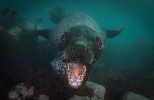 fur seal head.jpg