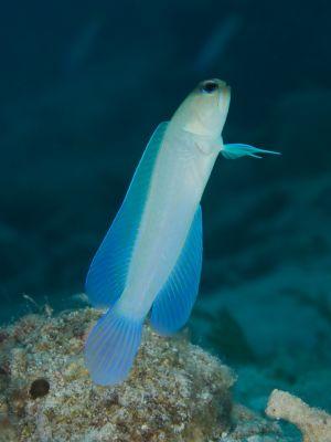 Yellowheaded Jawfish